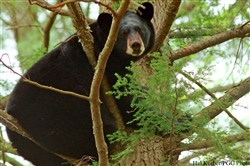 Image of a black bear.