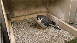 In this March 2016 file photo, the peregrine falcon Hope tends to three eggs in the nest atop the Cathedral of Learning in Oakland.