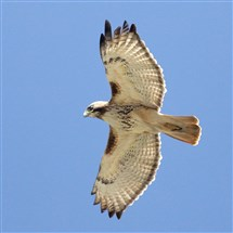 Bird watchers have a chance to see a red-tailed hawk and other raptors common to Western Pennsylvania at the Allegheny Front Hawk Watch at Chestnut Ridge in Bedford County.