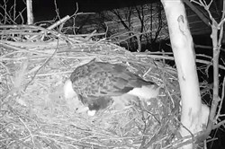 One of the Harmar bald eagles looks over the eggs in its nest.